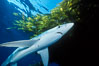 Blue shark and offshore drift kelp paddy, open ocean. San Diego, California, USA. Image #01077