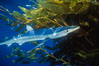 Blue shark and offshore drift kelp paddy, open ocean. San Diego, California, USA. Image #01079