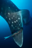 Whale shark with remora. Darwin Island, Galapagos Islands, Ecuador. Image #01504