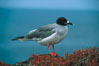 Swallow-tailed gull. South Plaza Island, Galapagos Islands, Ecuador. Image #01752