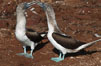 Blue-footed booby, courtship display. North Seymour Island, Galapagos Islands, Ecuador. Image #01791