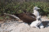 Blue-footed booby with chick. North Seymour Island, Galapagos Islands, Ecuador. Image #01807