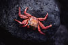 Sally Lightfoot crab. Galapagos Islands, Ecuador. Image #01894