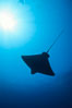 California bat ray. San Clemente Island, California, USA. Image #01917