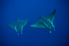 Mobula ray with remora. Cocos Island, Costa Rica. Image #02003