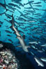 White-tip reef shark. Cocos Island, Costa Rica. Image #02014