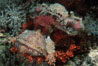 Flathead scorpionfish. Egyptian Red Sea. Image #02042