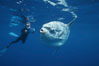 Ocean sunfish and videographer, open ocean. San Diego, California, USA. Image #02057