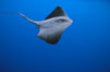 Pelagic stingray, open ocean. San Diego, California, USA. Image #02095