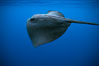 Pelagic stingray, open ocean. San Diego, California, USA. Image #02096
