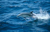 Common dolphin leaping (porpoising). San Diego, California, USA. Image #02098