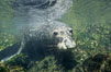 Northern elephant seal, San Benito Islands. San Benito Islands (Islas San Benito), Baja California, Mexico. Image #02161