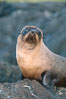 Galapagos fur seal. James Island, Galapagos Islands, Ecuador. Image #02245