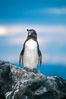 Galapagos penguin at sunset. Bartolome Island, Galapagos Islands, Ecuador. Image #02267