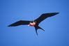 Great frigate bird (note green scapular feathers), adult male. North Seymour Island, Galapagos Islands, Ecuador. Image #02272