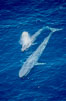 Two blue whales, a mother and her calf, swim through the open ocean in this aerial photograph.  The calf is blowing (spouting, exhaling) with a powerful column of spray.  The blue whale is the largest animal ever to live on Earth. San Diego, California, USA. Image #02304