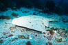 Angel shark, Islas San Benito. San Benito Islands (Islas San Benito), Baja California, Mexico. Image #02342