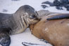 Galapagos sea lion pup nursing. Sombrero Chino, Galapagos Islands, Ecuador. Image #02427