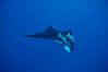 Manta ray with remoras. San Benedicto Island (Islas Revillagigedos), Baja California, Mexico. Image #02450