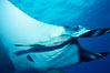 Manta ray and remora. San Benedicto Island (Islas Revillagigedos), Baja California, Mexico. Image #02454
