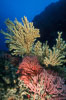 Parasitic zoanthid anemones (yellow) cover dead/dying gorgonian, brown gorgonian. Catalina Island, California, USA. Image #02530