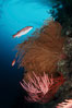 California Golden gorgonian, red gorgonian, sheephead. San Clemente Island, USA. Image #02533