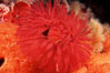 Feather duster worm. San Miguel Island, California, USA. Image #02544
