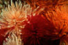 Feather duster worms. San Miguel Island, California, USA. Image #02545