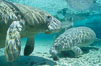 West Indian manatees at Three Sisters Springs, Florida. Crystal River, USA. Image #02622