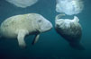 West Indian manatees at Three Sisters Springs, Florida. Crystal River, USA. Image #02627