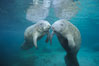 Two Florida manatees, or West Indian Manatees, swim together in the clear waters of Crystal River.  Florida manatees are endangered. Three Sisters Springs, USA. Image #02629