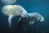 West Indian manatees at Three Sisters Springs, Florida. Crystal River, USA. Image #02631