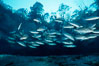 Mangrove snapper. Three Sisters Springs, Crystal River, Florida, USA. Image #02684