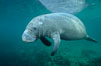 A Florida manatee, or West Indian Manatee, swims slowly through the clear waters of Crystal River. Three Sisters Springs, USA. Image #02696