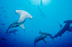 Scalloped hammerhead sharks, schooling over reef. Cocos Island, Costa Rica. Image #03217