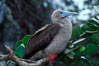 Red-footed booby. Cocos Island, Costa Rica. Image #03255