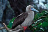 Red-footed booby. Cocos Island, Costa Rica. Image #03256