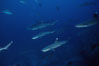 Reef whitetip sharks. Cocos Island, Costa Rica. Image #03297