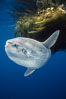 Ocean sunfish referencing drift kelp, open ocean near San Diego. San Diego, California, USA. Image #03563