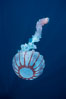 Purple-striped jellyfish. San Diego, California, USA. Image #03778