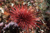 Red urchin on rocky California reef. USA. Image #03802