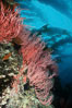 Red gorgonian on rocky reef below kelp forest. San Clemente Island, California, USA. Image #03827