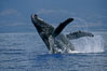 Humpback whale breaching with pectoral fins lifting spray from the ocean surface. Maui, Hawaii, USA. Image #03854