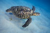 Green sea turtle, Maui Hawaii. USA. Image #04556