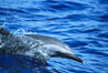 Pantropical spotted dolphin. Maui, Hawaii, USA. Image #04563