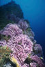 Hydrocoral, Farnsworth Banks. Catalina Island, California, USA. Image #04704