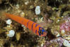 Bluebanded goby. Catalina Island, California, USA. Image #04741