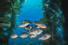 Black perch in kelp forest. San Clemente Island, California, USA. Image #04810