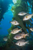Black perch in kelp forest. San Clemente Island, California, USA. Image #04811