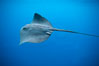 Pelagic stingray, open ocean. San Diego, California, USA. Image #04997